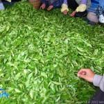 今年も茶摘みの季節です