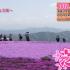 茶臼山高原芝桜祭初日