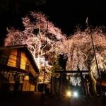 上黒川熊野神社桜の輝き