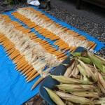 ポップコーントウモロコシ収穫