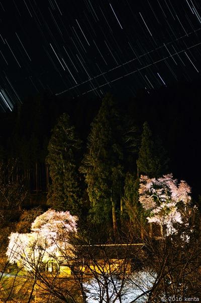 160405熊野神社桜ライトアップa