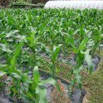 ポップコーントウモロコシ成長中