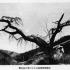 昭和12年在りし日の三沢枝垂れ桜