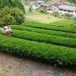 我が家の茶畑でお茶摘み195キロ