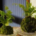 苔玉づくり工作、豊根村はブルーベリーの季節が到来